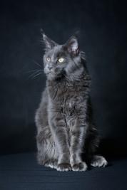 kot;-kotka;-koty;-kociak;-Maine-Coon