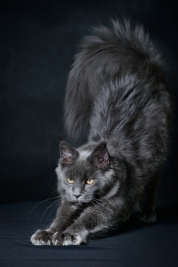 Kot-Maine-Coon