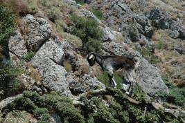 Koza-na-galezi-drzewa-Kreta-Grecja