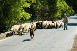 Pasterz-i-stado-owiec-Kreta-Grecja
