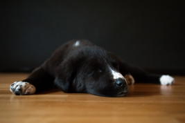 Śpiacy-szczeniak-owczarka-srodkowoazjatyckiego-alabaja
