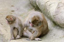 pawian-senegalski;-Guinea-baboon;-ssaki;-zoo