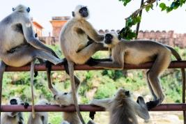 Stado-malp-w-Indiach-Hanuman-langurs
