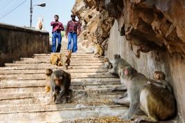 malpa;-malpy;-stado;-Hindusi;-schody;-Indie;-Galta-Ji;-swiatynia;-Jaipur;-Indie