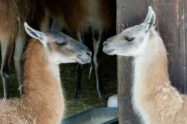 Dwie-lamy-w-zoo