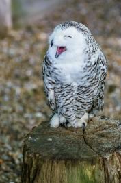 Puchacz-sniezny-Bubo-scandiacus