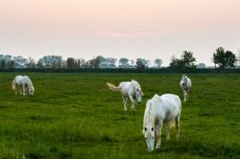 Biale-konie-w-rezerwacie-Camargue-Francja