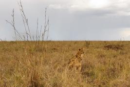 Mlode-lwy-Kenia