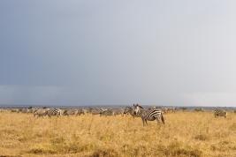 Stado-zebr-Kenia