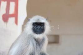 Hanuman-langurs-