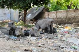 Dzikie-swinie-na-smietnisku-w-Khajuraho-Indie