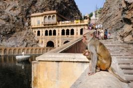 malpy;-matka;-malpka;-schody;-Galta-Ji;-swiatynia;-Jaipur;-Indie;-malpa;-rodzina