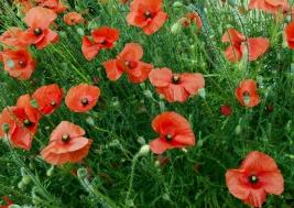 maki;kwiaty;Papaver-rhoeas