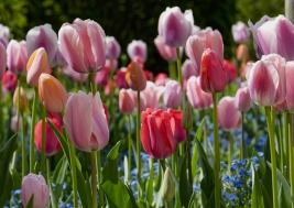 Tulipany-Tulipa-gesneriana