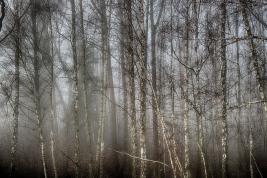 Brzozowy las we mgle