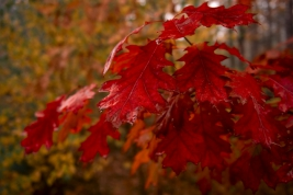 Liscie-debu-czerwonego-jesienia